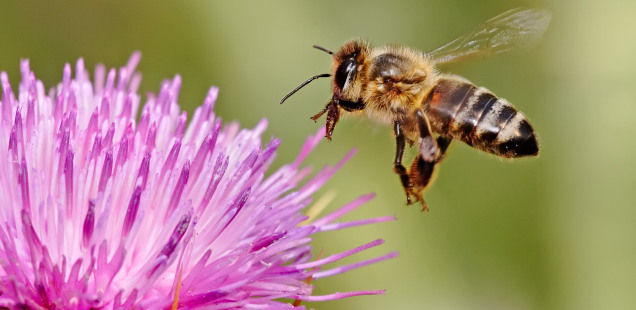 Profile of my honey bee research in Canada's History
